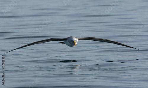 Fotografia, Obraz  Albatross Flight