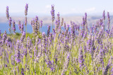 Close up image of lavender which is traditionally grown on terraces on Hvar Island in Croatia, with the blue Adriatic Sea in the background, with soft afternoon light and a shallow depth of field. - 130872550