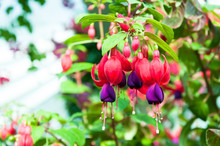 Beautiful Fuchsia Flowers In Garden