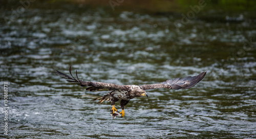 Poster Aigle Eagle flying with prey in its claws. Alaska. Katmai National Park. USA. An excellent illustration.