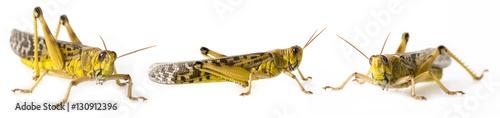 Fotografia Schistocerca gregaria - the desert locust - food insects