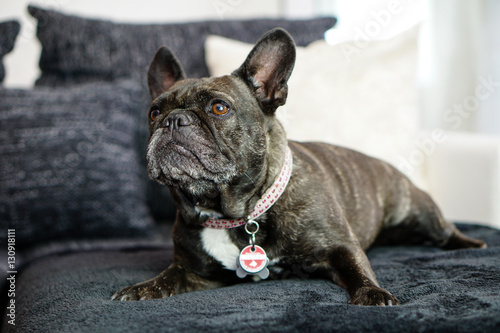 Foto op Canvas Franse bulldog Französische Bulldogge