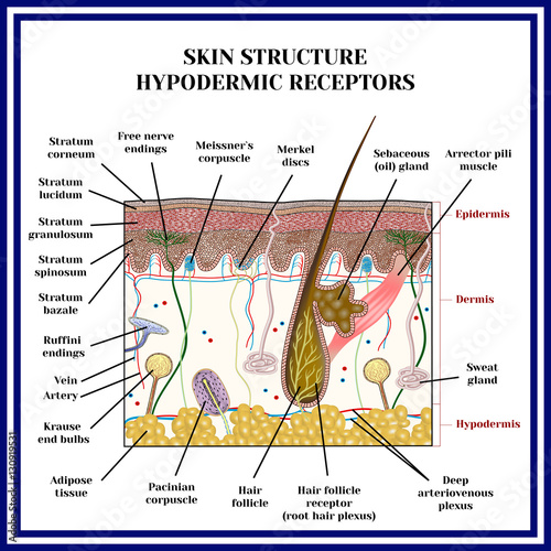 Skin Structure Hypodermic Receptors Meissner Corpuscle Merkel Discs Pacinian Corpuscle Ruffini Endings Krause End Bulbs Free Nerve Endings Sweat Gland Buy This Stock Vector And Explore Similar Vectors At Adobe Stock