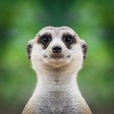 Meerkat face close up