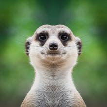 Meerkat Face Close Up