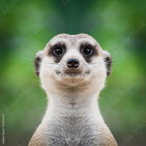 Fototapeta  Meerkat face close up