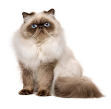 Cute 1 Year Old Seal Colourpoint Persian Cat