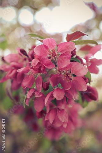 Fototapety, obrazy: Pink Flowers