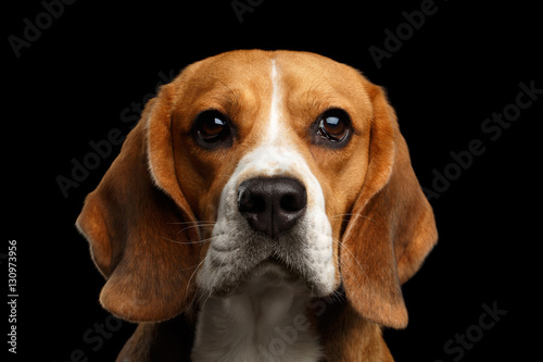 Valokuva  Close-up portrait of Young Beagle dog looking in camera on isolated black backgr