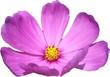 Leinwandbild Motiv Pink Cosmos flowers