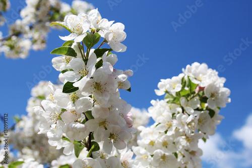 Photo  Apfelblüten im Frühling
