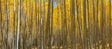 Colorado aspen trees panorama in autumn