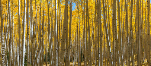 Colorado aspen trees panorama in autumn