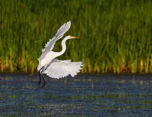FototapetaGreat Egret Landing
