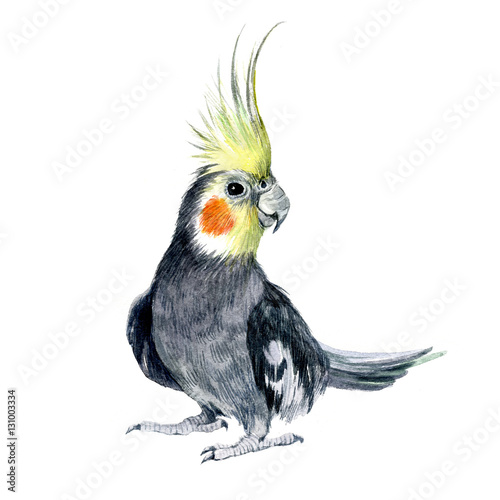 Valokuva  Watercolor Parrot cockatiel isolated on a white background illustration