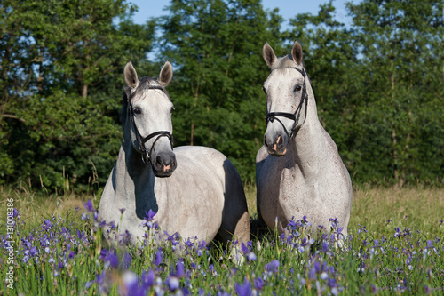 Photo  Portrait of two nice white horses in blooming meadow