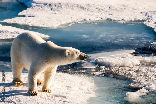 Recess Fitting Polar bear Cute polar bear enjoying sun