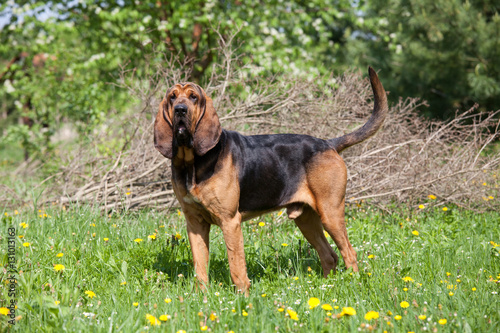 Fotografie, Tablou Portrait of nice bloodhound