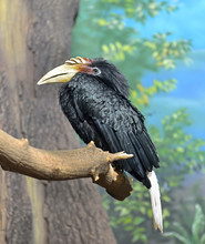 Hornbills (Bucerotidae)