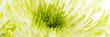 canvas print picture - Chrysantheme