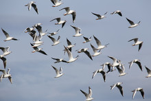 A Flock Of Seagulls In Flight. The Island Of Cyprus.