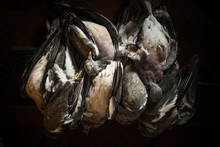 Still Life Of Dead Pigeons Ready For Cooking Prep