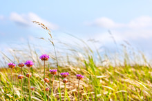 Dune Grasses And Flowers In Afternoon Sun