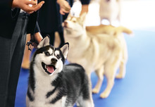 Cute Funny Husky With Owner At...