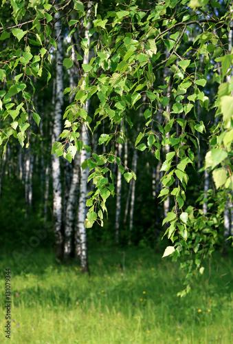 Tuinposter Berkbosje branch of a birch tree