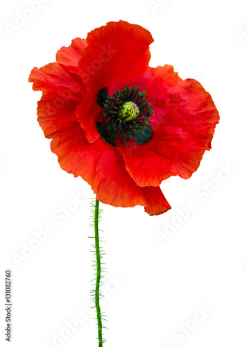 Poster Poppy poppy. red poppy isolated on white background.red poppy. beautif