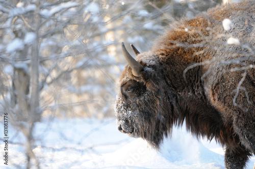 Vászonkép  Wisent in winter birch forest