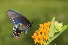 Pipevine Swallowtail Butterfly On Orange Butterflyweed