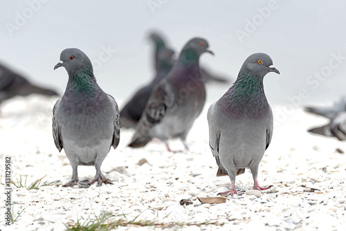 Two pigeons standing together Columbidae