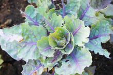 Kale Brassica Oleracea L. Var. Acephala DC Green And Purple Decorative Plant