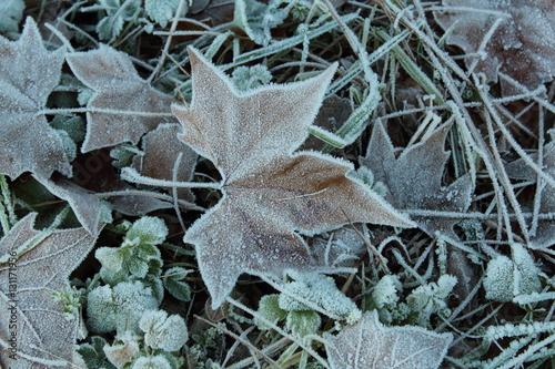 Fotografiet  Foglia di albero in inverno coperta di brina