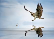 Osprey (Pandion Haliaetus) Hunting For Fish, Florida, America, USA