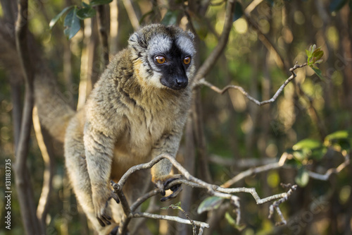 Lemur in their natural habitat, Madagascar. Billede på lærred