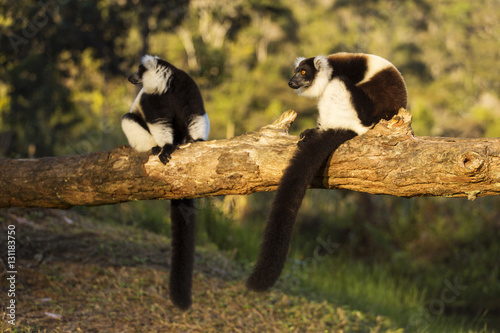 Lemur in their natural habitat, Madagascar. Plakat