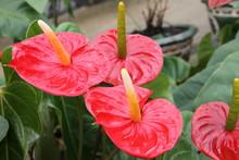 Четыре красных цветка антуриума.