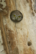 Northern Pygmy Owl (Glaucidium Gnoma) Adult Looking Out Of Nest Hole In Sycamore Tree. Arizona, USA.