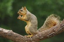 Portrait Of Eastern Fox Squirr...