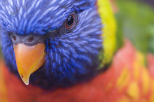 Rainbow Lorikeet (Trichoglossu...