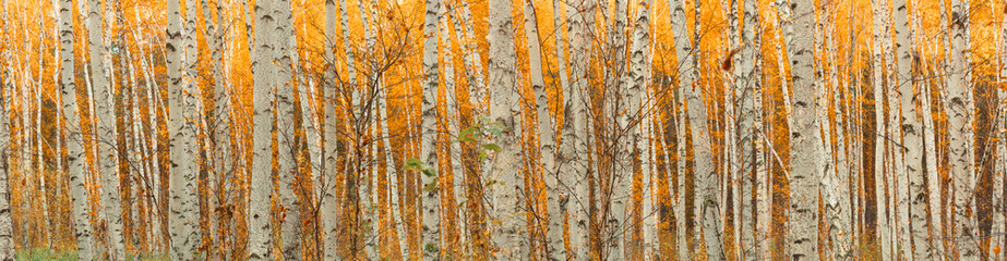 Fototapeta Brzoza ultra wide autumn birch forest pattern.