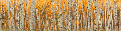 Papiers peints Forets ultra wide autumn birch forest pattern.
