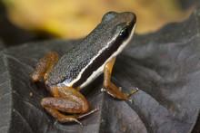 Lowland Rocket Frog (Silverstoneia Flotator). Osa Peninsula, Costa Rica.