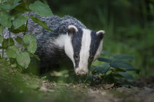 European Badger (Meles Meles) Foraging In Deciduous Woodland., Mid Devon, UK. June.