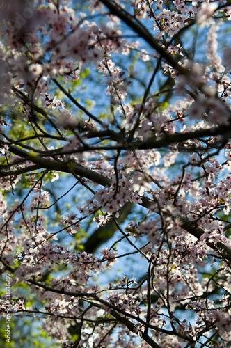 Cerisier en fleur - Hanami Canvas Print