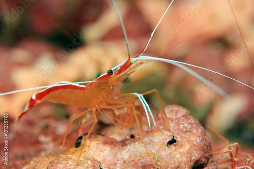 Skunk Cleaner Shrimp (Lysmata Amboinensis, aka Scarlet cleaner Shrimp, Northern Cleaner Shrimp, Pacific Cleaner Shrimp). Padang Bai, Bali, Indonesia