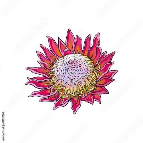 single purple colored king protea sketch style vector illustration
