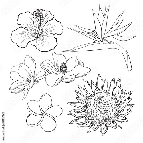 ae7e36dfd Tropical flowers - hibiscus, protea, plumeria, bird of paradise and  magnolia, sketch style vector illustration isolated on white background.  realistic hand ...